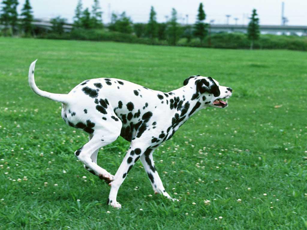 Dog Breed Distance Running