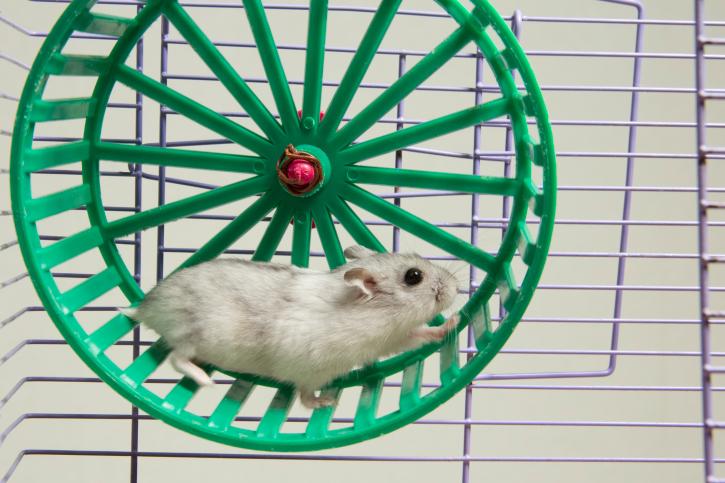 hamster running in the wheel