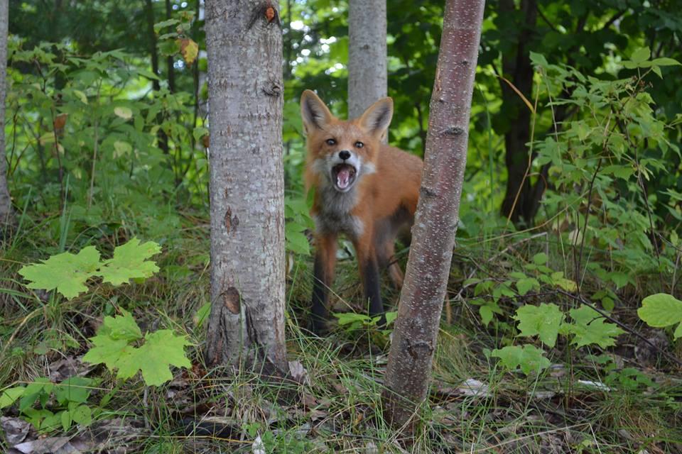 Caela's fox
