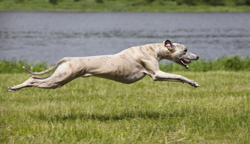 Fastest Dog Breeds In The World